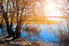Sunny autumn landscape - yellowed autumn willow under sunshine on the bank of the small river at autumn sunset. Royalty Free Stock Photography