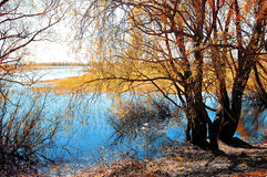 Sunny autumn landscape - yellowed autumn willow under sunshine on the bank of the small river at autumn sunset. Stock Photography