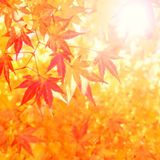 Sunny autumn leaves Royalty Free Stock Images