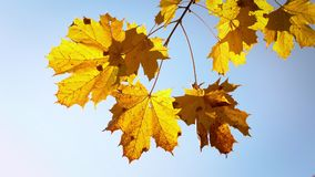 Sunny autumn maple leaves stock video