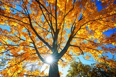 Free Sunny Autumn Maple Over Blue Sky Royalty Free Stock Photography - 158808377