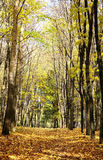 Sunny autumn october forest on blue sky Royalty Free Stock Image