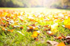 Autumn fall in the park. Sunny autumn park with yellow maple fallen leaves royalty free stock photo