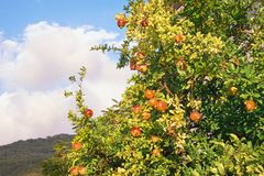 Sunny autumn. Pomegranate tree Punica granatum with ripe fruits. Against sky Royalty Free Stock Photo