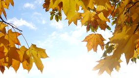 Sunny autumn sky and maple leaves stock footage