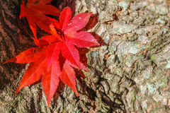 Sunny Autumn Texture - Leaves and Bark. Close-up of three bright red Japanese Maple leaves nestled in the crotch of a split tree trunk against interestingly Stock Images