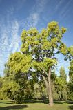 Sunny autumn tree in the park Stock Photography