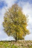 Sunny autumn tree on sky Stock Photography