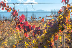 Sunny Autumn Vineyard mendoza Images stock