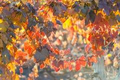 Sunny Autumn Vineyard mendoza Photographie stock