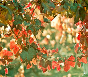 Sunny Autumn Vineyard. Mendoza en automne en retard, quand harve de raisins Photos libres de droits