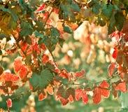 Sunny Autumn Vineyard. Mendoza in late autumn, when grapes harve Royalty Free Stock Photos