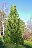 A stately spruce in Boden. On a sunny autumn walk in the park at the church cottages in Boden royalty free stock photos