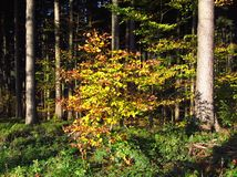 Sunny autumn in the woods. A tree with yellow leaves among some coniferous trees in the wood Royalty Free Stock Image