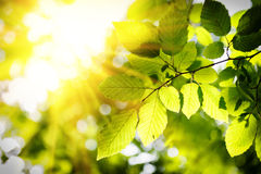 Sunny background with green leaves Stock Image