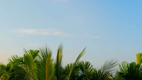 The luscious green leaves of tropital trees sway in the wind under blue sky. Sunny background of juicy green leaves of tropital exotic coconut palms sway in the stock video footage