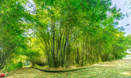 Sunny bamboo forest early. With aligned bamboo grow along way just created shade watch beautiful scenery, bamboo often do many things daily life and grows in Stock Photos