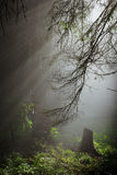 Sunny beams. In the foggy forest Stock Photo