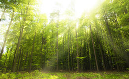 Sunny beams in forest Royalty Free Stock Photography