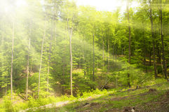 Sunny beams in forest Royalty Free Stock Images