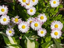 Sunny bellis daysi flowers close-up, selective focus, shallow DOF stock images