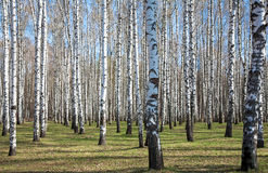 Sunny birch forest in first spring greens Stock Photography