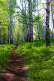 Sunny birch forest Stock Photo