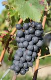 Sunny black grape Royalty Free Stock Photo