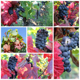 Sunny black grape Royalty Free Stock Image