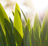 Sunny blades of grass. Macro closeup of some sunny blades of grass Royalty Free Stock Images
