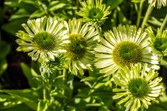 Sunny blooming flowers of green jewel Echinacea or sunny coneflowers. Group of sunny blooming flowers of green jewel Echinacea or coneflowers in closeup in Royalty Free Stock Photos