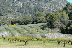Sunny blooming orchard in the foreground, an olive trees field. In the center, and a mountain in the background. Spring in Provence, in France Stock Image