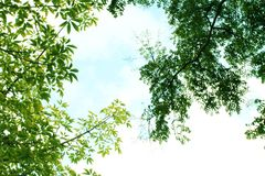 Sunny blue sky through tree branches. Sunny blue sky through green tree branches, calm. great as background Royalty Free Stock Photo
