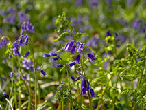 Sunny Bluebells, close-up, selectieve doff royalty-vrije stock afbeelding