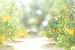 A sunny blurred background of an orange orchard. A blurred background with bokeh and copy space for text of a sunny orange orchard Royalty Free Stock Photo