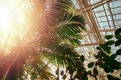 Sunny bright light passes through foliage palm tree into greenhouse. Rays light pass through crown of palm tree in winter garden. Sunny bright light passes stock photography