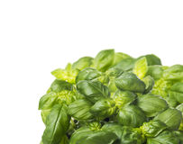 Sunny bunch of basil ,border corner, isolated Royalty Free Stock Images