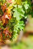 Sunny bunches of white wine grape Royalty Free Stock Photos