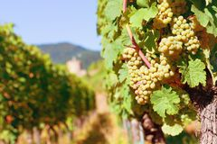 Sunny bunches of white wine grape Royalty Free Stock Photography
