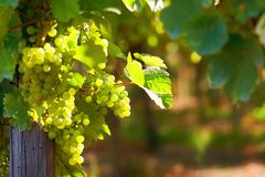 Sunny bunches of white wine grape Stock Photography