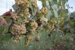 Sunny bunches of white wine grape on vineyard. Wine concept Royalty Free Stock Images