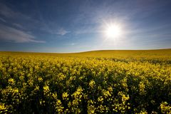 Sunny Canola Stock Photo