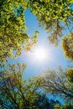 Sunny Canopy Of Tall Trees Lumière du soleil dans à feuilles caduques Images stock