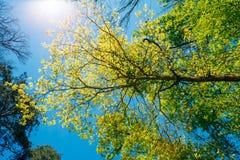Sunny Canopy Of Tall Trees Lumière du soleil dans à feuilles caduques Photo stock