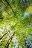 Sunny Canopy Of Tall Trees Luz del sol en bosque de hojas caducas, verano Fotos de archivo