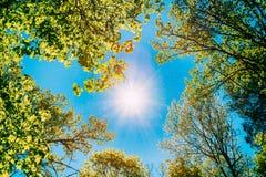 Sunny Canopy Of Tall Trees Solljus i lövskog, sommar royaltyfri bild