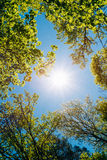 Sunny Canopy Of Tall Trees. Sunlight In Deciduous Stock Images