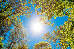 Sunny Canopy Of Tall Trees. Sunlight In Deciduous Royalty Free Stock Photography