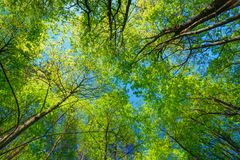 Sunny Canopy Of Tall Trees. Sunlight In Deciduous Stock Photo