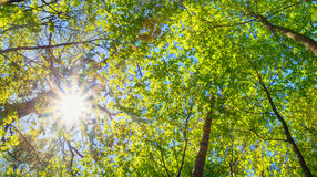 Sunny Canopy Of Tall Trees. Sunlight In Deciduous Royalty Free Stock Photos